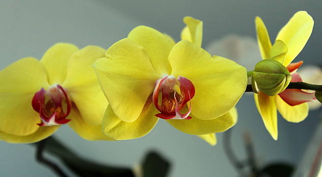Yellow Orchid by M Diane Bonaparte