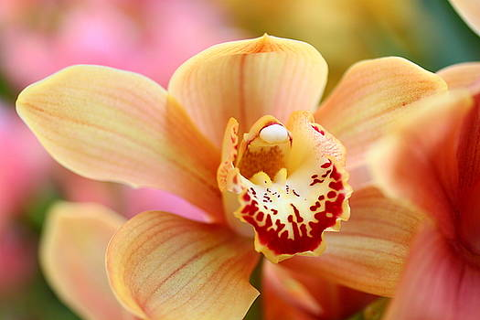 Yellow Orchid by Norman Drake