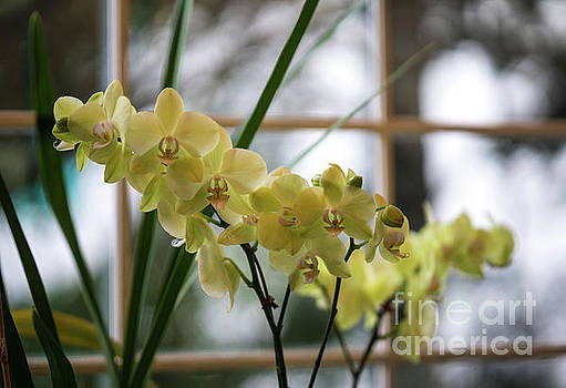 Yellow Orchids Flourish by Mike Reid
