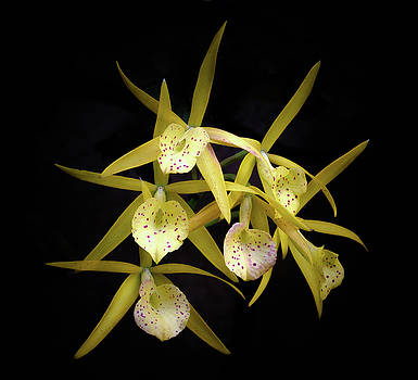 Yellow Orchids by Georgette Grossman