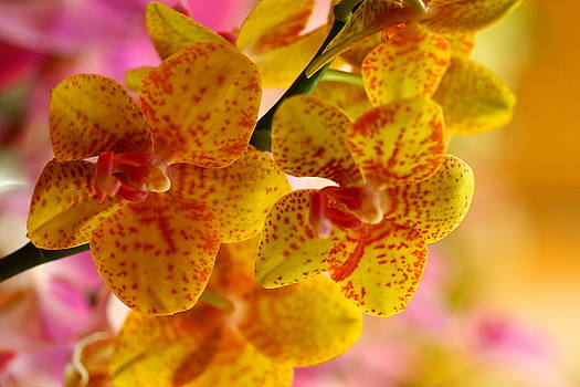 Yellow Orchids by Norman Drake