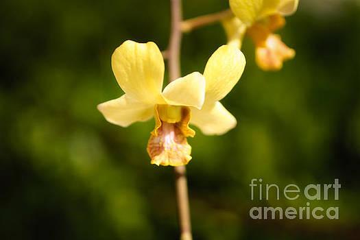 Yellow Orichid by Byron Fair