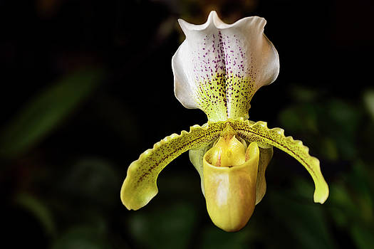 Reimar Gaertner - Yellow Paphiopedilum Insigne var sylhetense Venus Slipper orchid