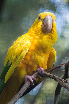 Yellow Parrot by Linda Geiger