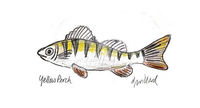 Yellow Perch by Deborah Willard