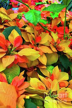 Jost Houk - Yellow Petal Poinsettia