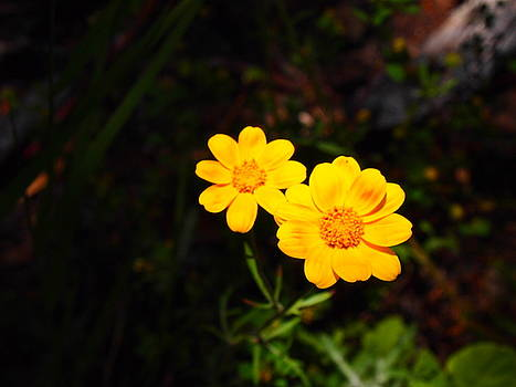 Yellow Petals by Keelee Martin