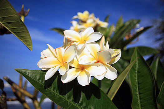 Michael Ledray - Yellow Plumeria flowers on Maui Hawaii