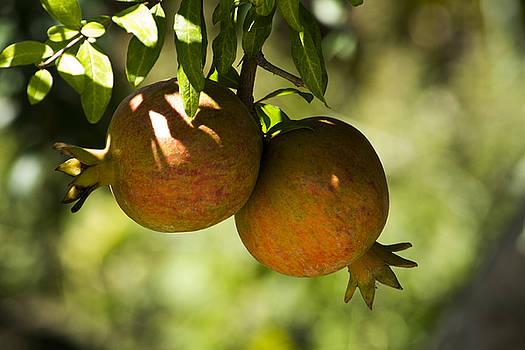 yellow Pomegranate by Atul Daimari
