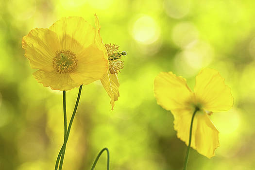 Peggy Collins - Yellow Poppies - California Poppy Flower