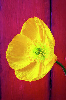 Yellow Poppy Against Red Wall by Garry Gay
