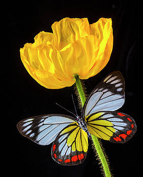 Yellow Poppy And Stunning Butterfly by Garry Gay