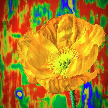 Yellow Poppy portrait by Garry Gay
