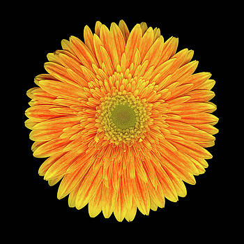 Yellow-Red Gerbera One by Christopher Gruver