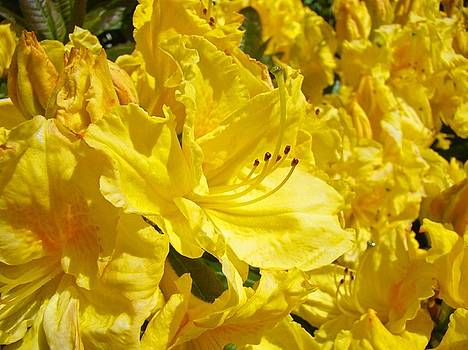 Baslee Troutman - Yellow Rhodies Floral Brilliant Sunny Rhododendrons Baslee Troutman