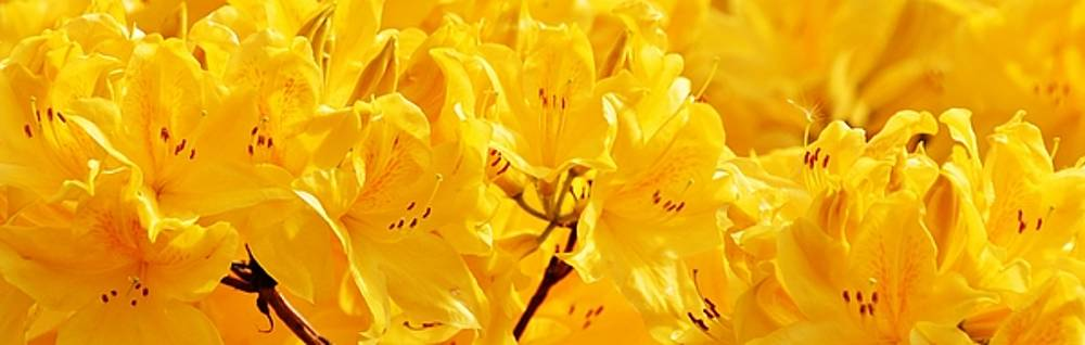yellow Rhododendron blossoms by Werner Lehmann