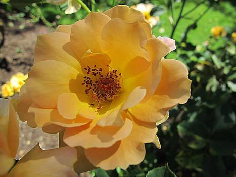 Yellow Rose 2 by Lynn Harrison