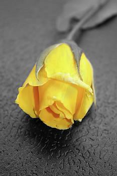 Yellow rose by Angel Jesus De la Fuente