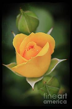 Yellow Rose by Anna Sheradon