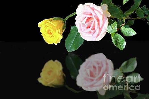 Yellow Rose Bud and Pink Rose in Reflection by Janette Boyd