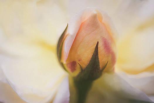 Yellow Rose Bud by Cindi Ressler