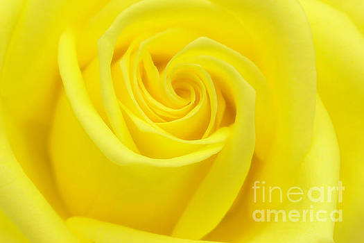 Yellow Rose by Cindi Ressler