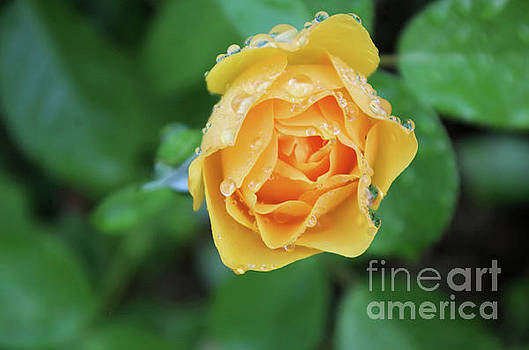 Yellow Rose Details by John S