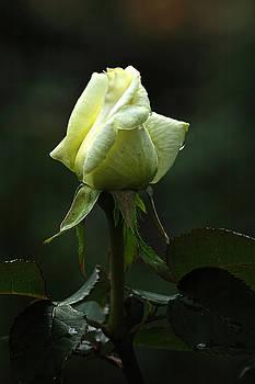 Edward Sobuta - Yellow Rose