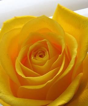 Yellow Rose by Galina Todorova