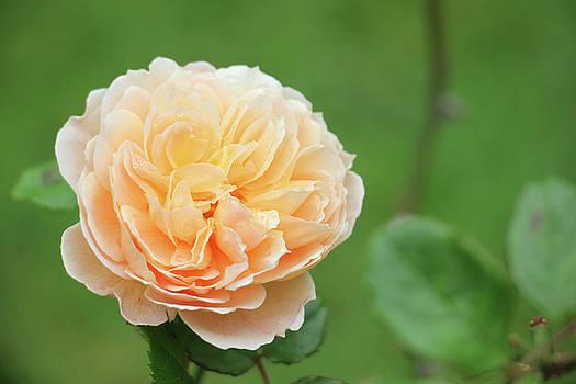 Yellow Rose in December by Kelly Hazel