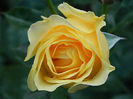 Yellow Rose by John Parry