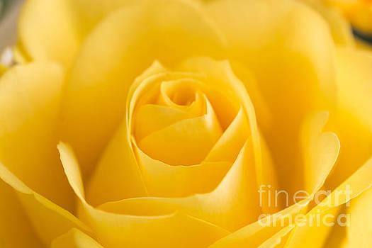 Steve Purnell - Yellow Rose Macro 2