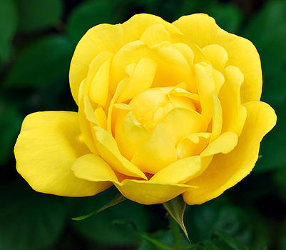 Yellow Rose by Marilynne Bull