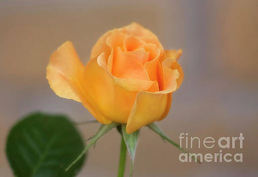 Yellow Rose of Texas by Joan Bertucci