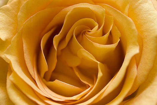 Yellow Rose of Texas by Marjohn Riney