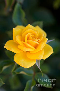 Yellow Rose of Texas by Michael Moriarty