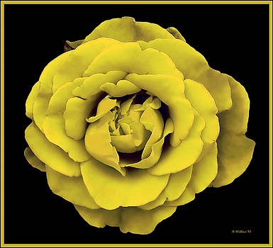 Yellow Rose On Black by Brian Wallace