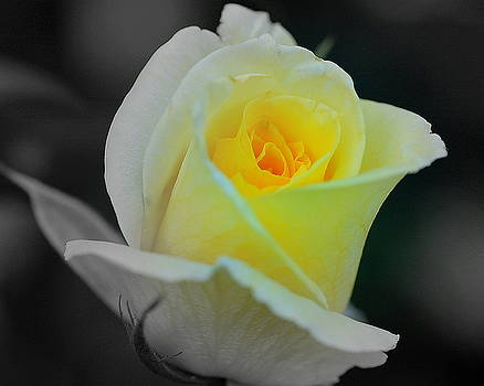 Yellow Rose by Scott Gould