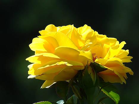 Baslee Troutman - YELLOW ROSE Sunlit ROSE GARDEN LANDSCAPE Art Baslee Troutman