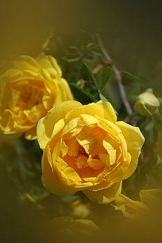 Yellow Rose by Susan Pedrini