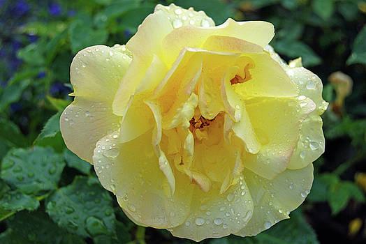 Yellow rose by Tamara Sushko