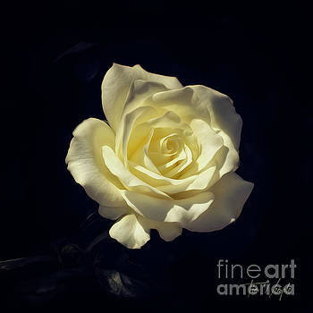 Yellow Rose by Tim Wemple