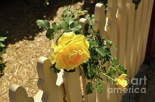 Yellow Roses by Barbara Dudzinska