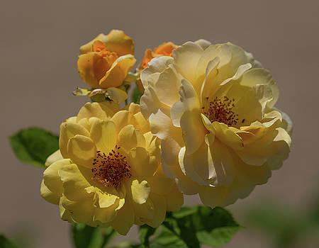 Dee Carpenter - Yellow Roses