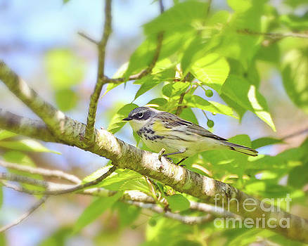 Yellow-rumped Warbler Close Up by Kerri Farley