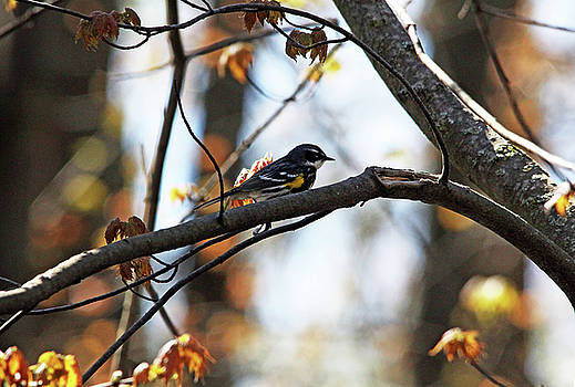 Yellow Rumped Warbler by Debbie Oppermann