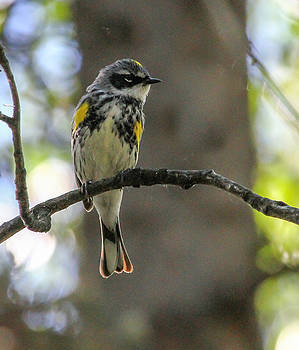 Dee Carpenter - Yellow-Rumped Warbler