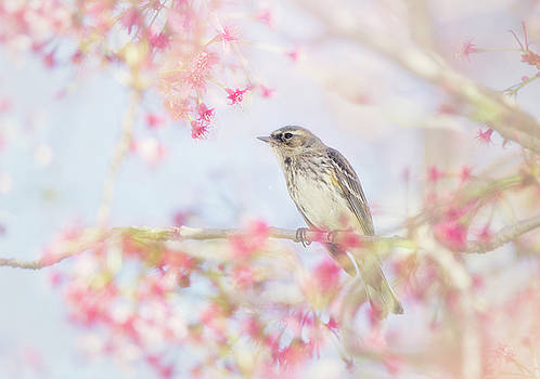 Susan Gary - Yellow-Rumped Warbler in Spring Blossoms