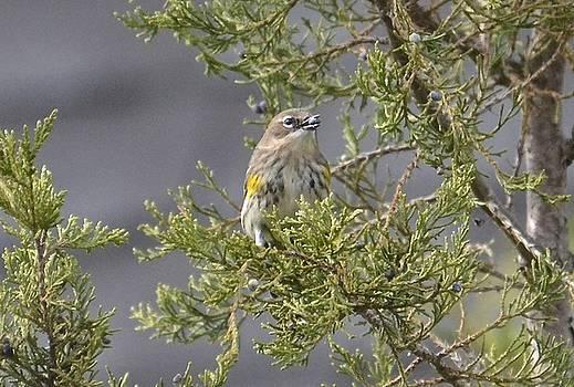 Yellow-rumped Warbler with berry by Lorelei Galardi