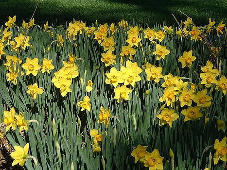 Yellow Sea Daffodils at Brookgreen Gardens by Elena Tudor